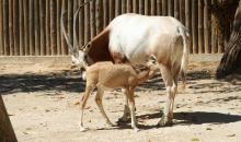 Cria em extinção nasce no Zoo de Lisboa